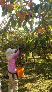 柿の収穫作業